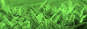 Thés verts